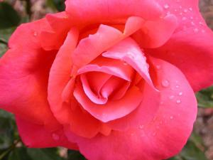 rose-flowers-82